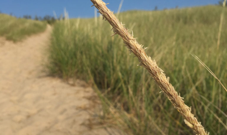 Beach Grass/Marram Grass… Ammophila breviligulata