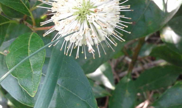 Buttonbush… Cephalanthus occidentalis