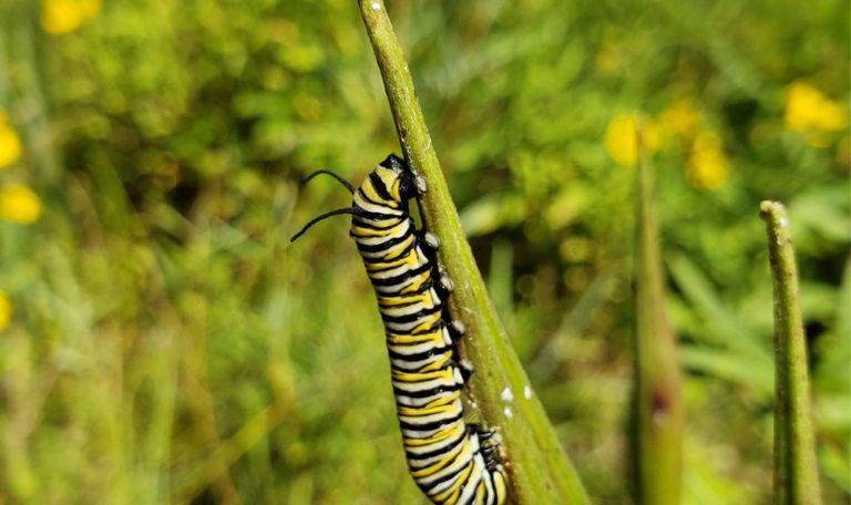 Swamp Milkweed… Asclepias incarnata