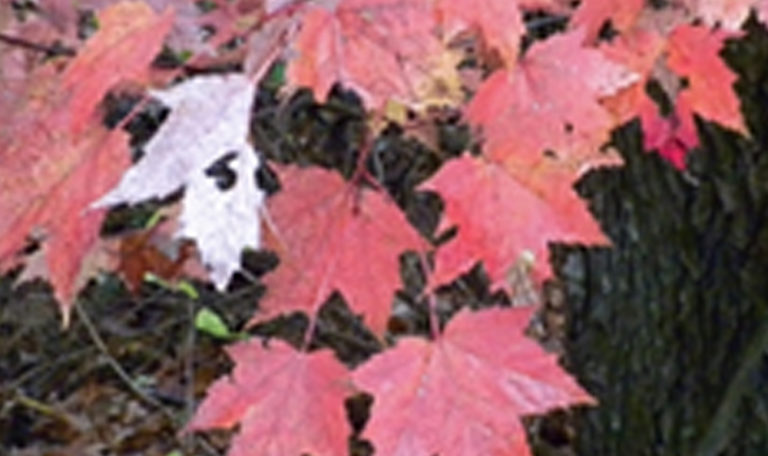 Red Maple… Acer rubrum