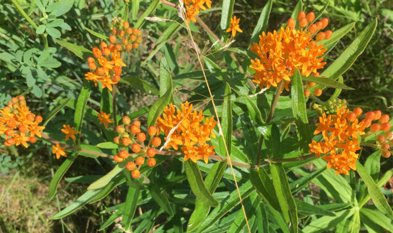 Butterfly Weed… Asclepias tuberosa