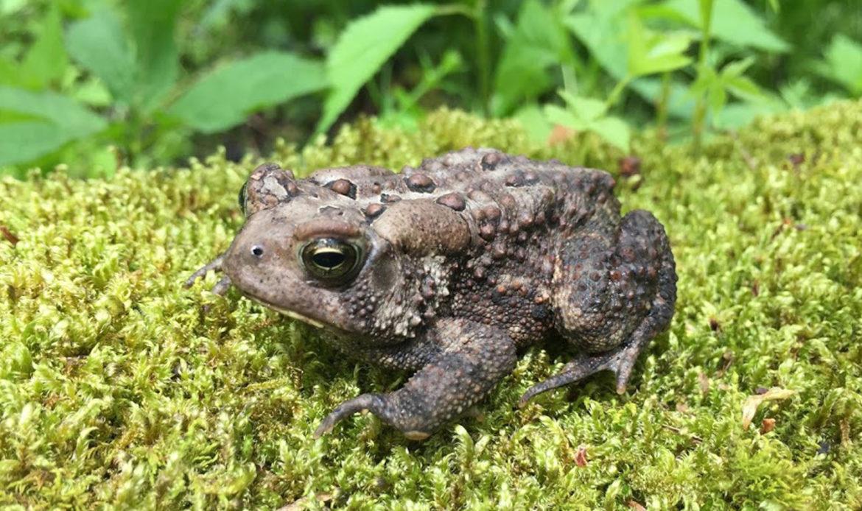 Eastern American Toad… Bufo americanus americanus