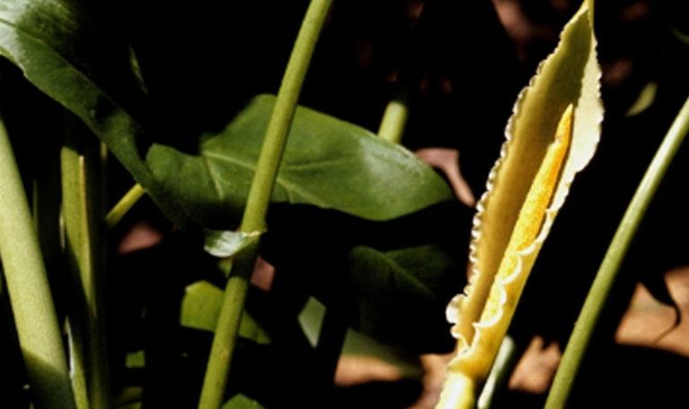 Arrow Arum/Tuckahoe… Peltandra virginica