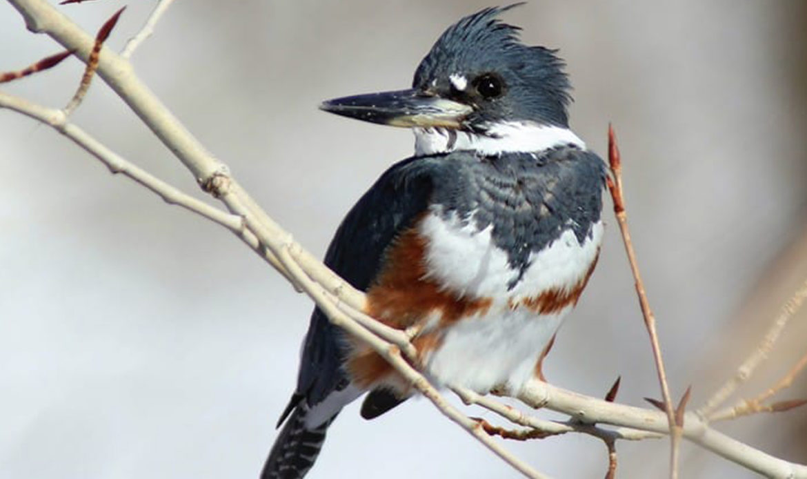 Belted Kingfisher Megaceryle alcyon