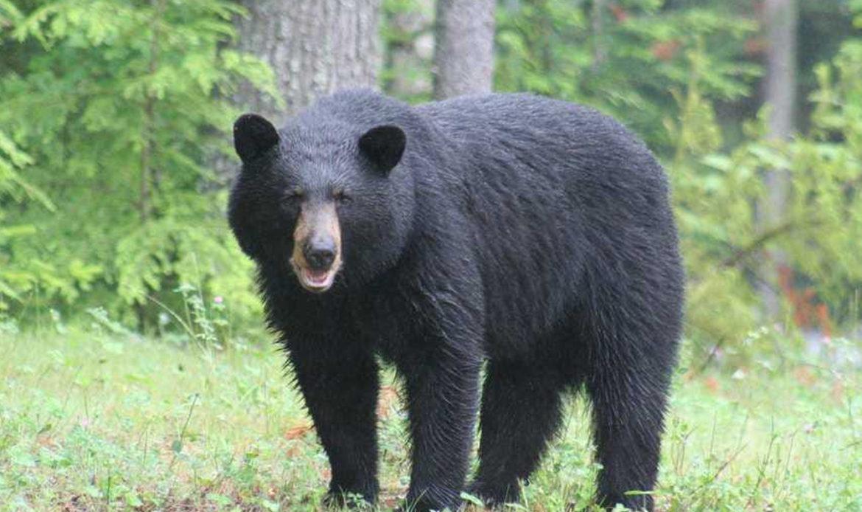 Black Bear… Ursus americanus