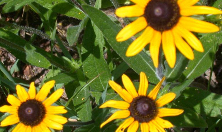 Black-Eyed Susan… Rudbeckia hirta