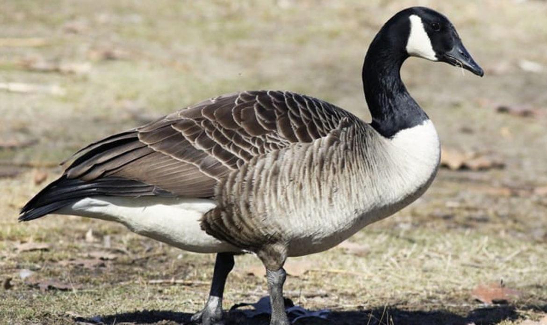 Canada Goose… Branta canadensis
