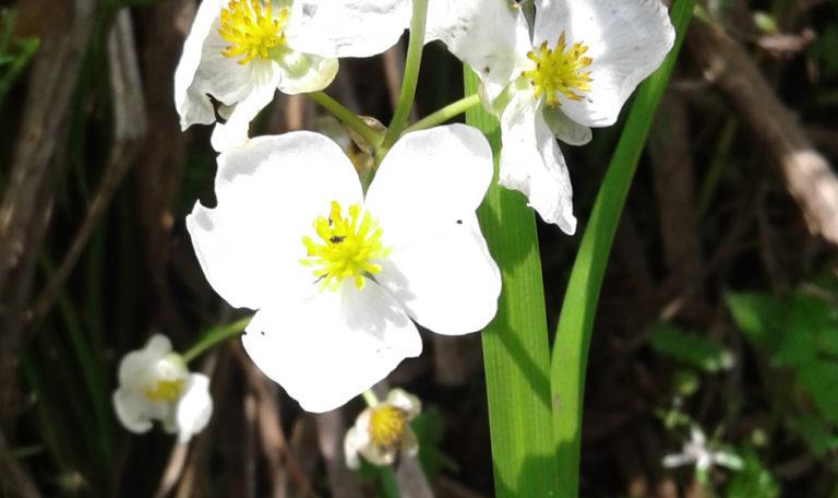 Common Arrowhead/ Wapato/Duck Potato Sagittaria latifolia