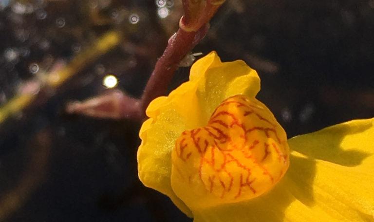 Common Bladderwort… Utricularia vulgaris
