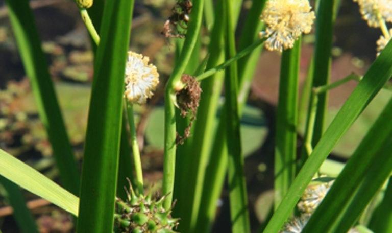 Common Bur-Reed… Sparganium eurycarpum