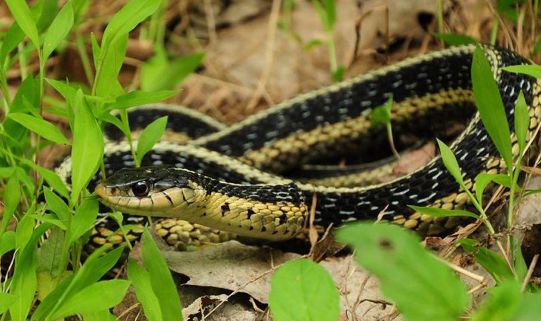 Eastern Garter Snake… Thamnophis sirtalis sirtalis