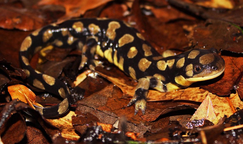 Eastern Tiger Salamander… Ambystoma tigrinum tigrinum