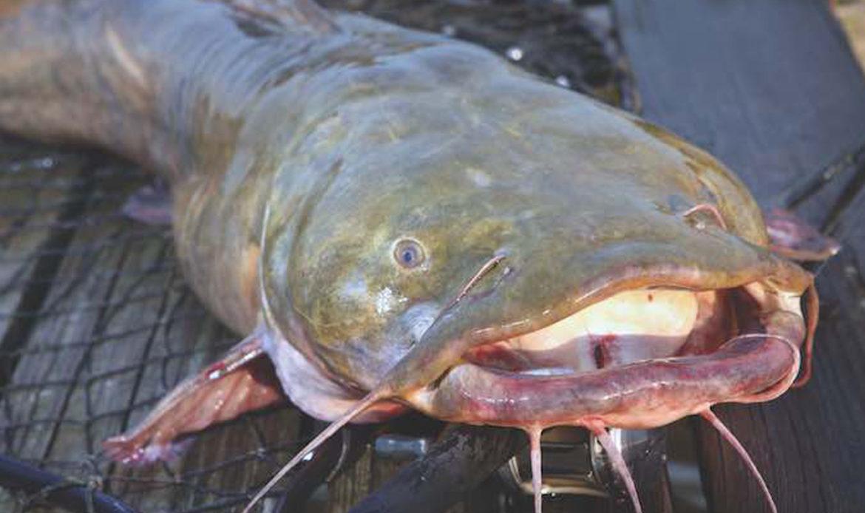Flathead Catfish… Pylodictus olivaris