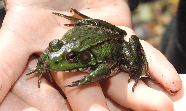 Green Frog… Rana clamitans melanota