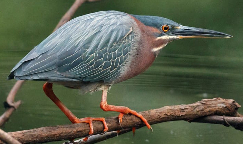 Green Heron… Butorides virescens