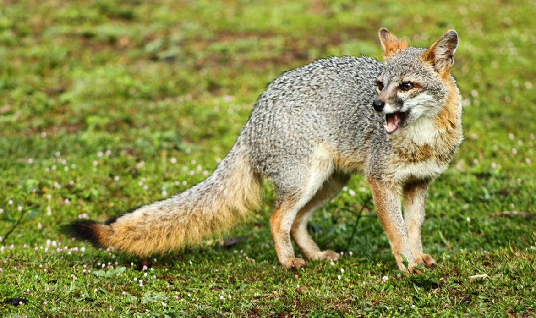 Gray Fox… Urocyon cinereoargenteus