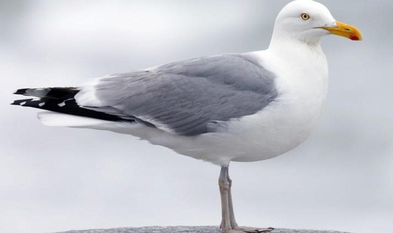 Herring Gull… Larus argentatus