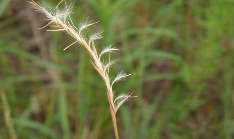Little Bluestems… Schizachyrium scoparium