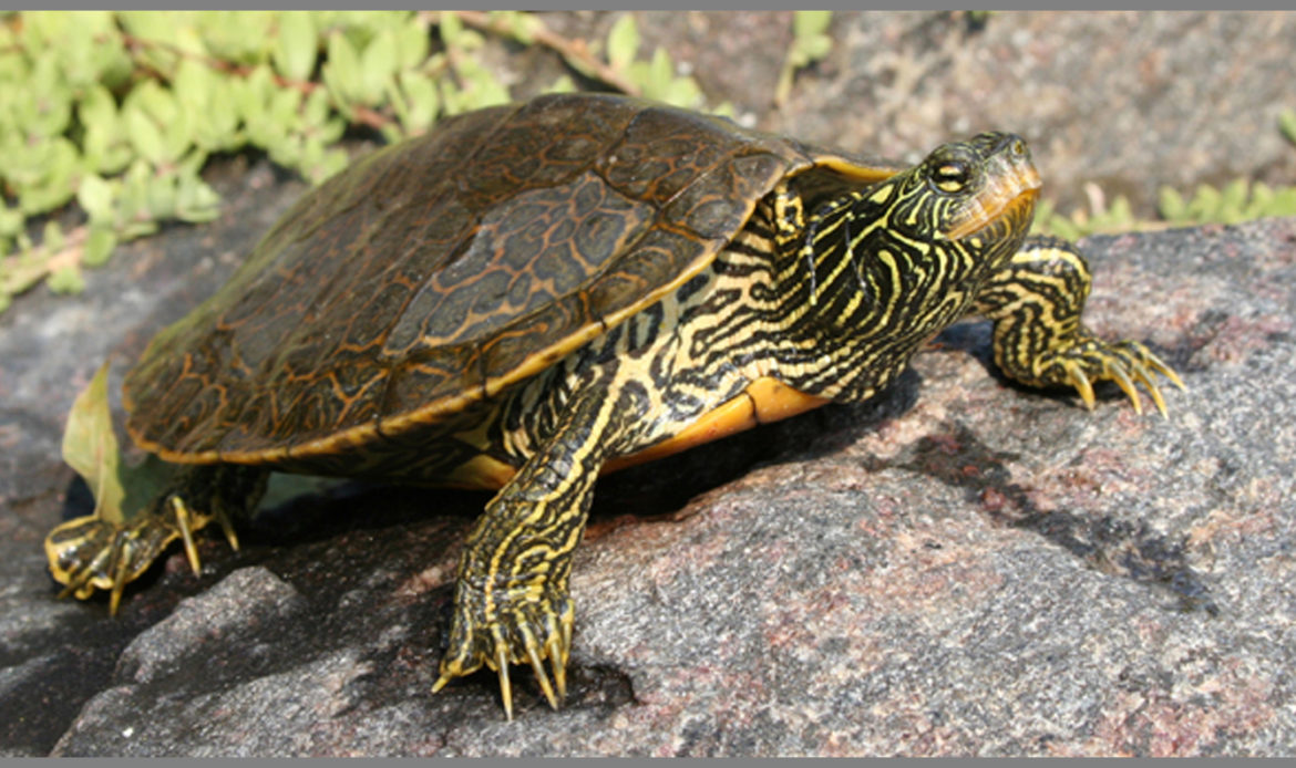 Map Turtle Graptemys geographica