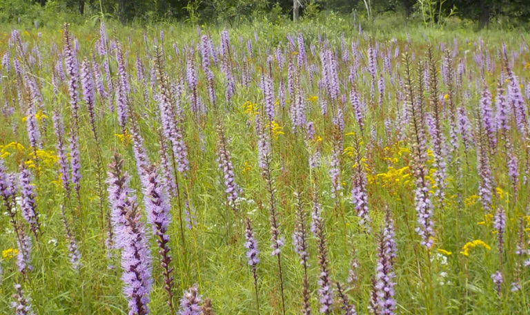 Marsh Blazing Star… Liatris spicata
