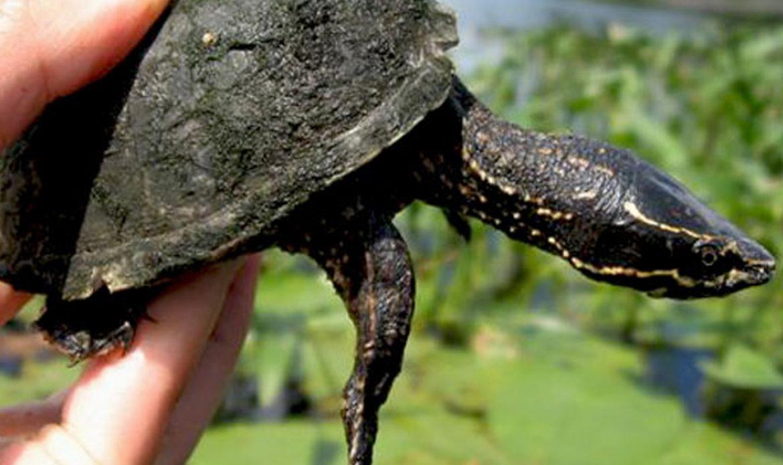 Musk Turtle… Sternotherus odoratus