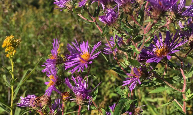 New England Aster… Symphyotrichum novae-angliae