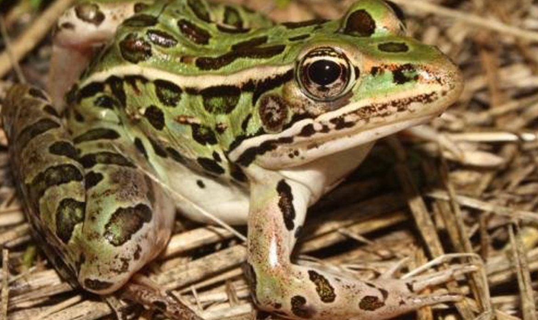 Northern Leopard Frog… Rana pipiens