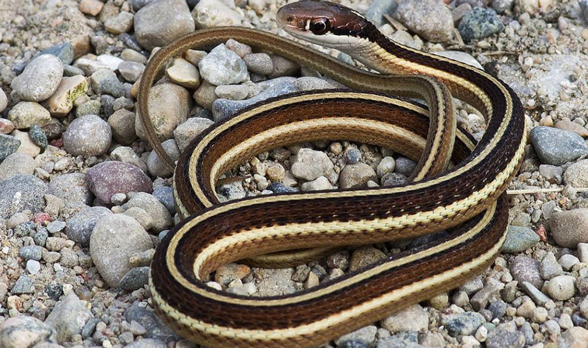 Northern Ribbon Snake Thamnophis sauritus septentrionalis