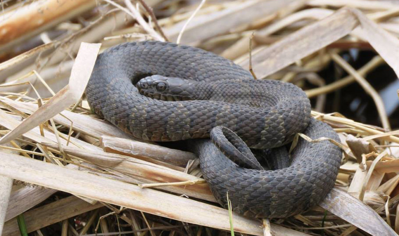 Northern Water Snake… Nerodia sipedon sipedon