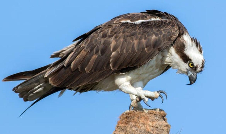 Osprey… Pandion haliaetus