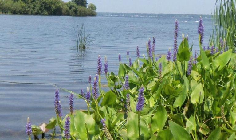 Pickerel Weed… Pontederia cordata