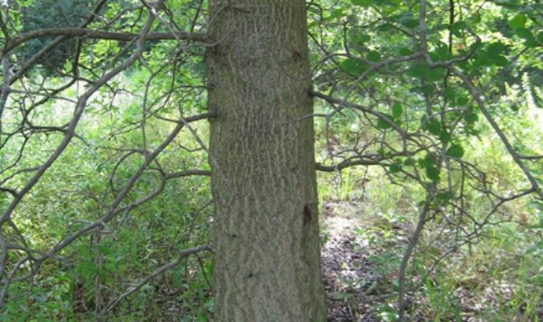 Pin Oak Quercus palustris