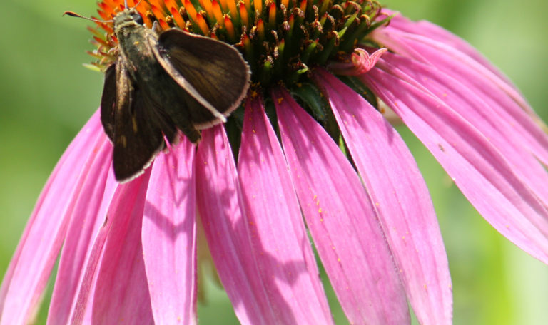 Purple Coneflower… Echinacea purpurea