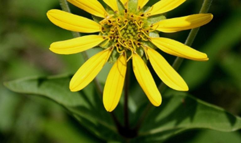 Rosin Weed… Silphium integrifolium