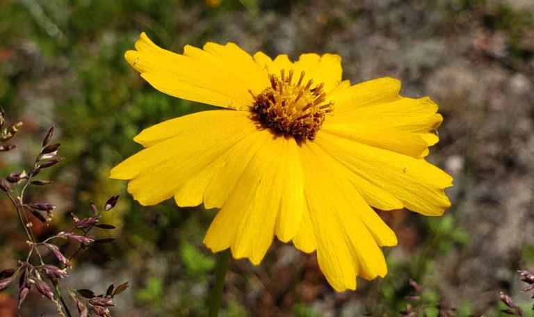 Sand Coreopsis Coreopsis lanceolata