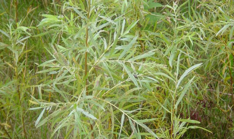 Sandbar Willow Salix exigua