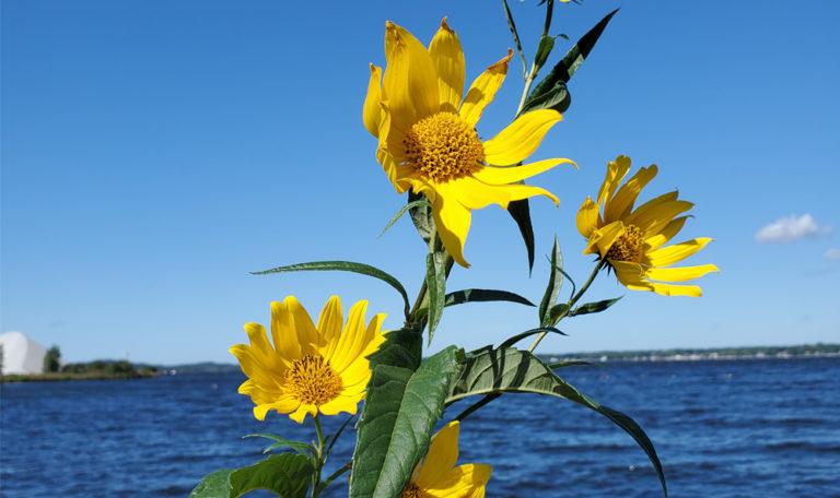 Sawtooth Sunflower Helianthus grosseserratus