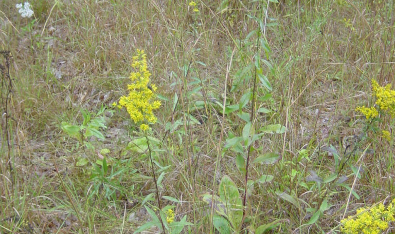 Showy Goldenrod… Solidago speciosa