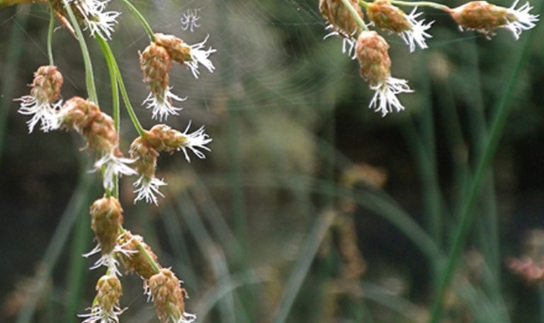 Softstem Bulrush Schoenoplectus tabernaemontani
