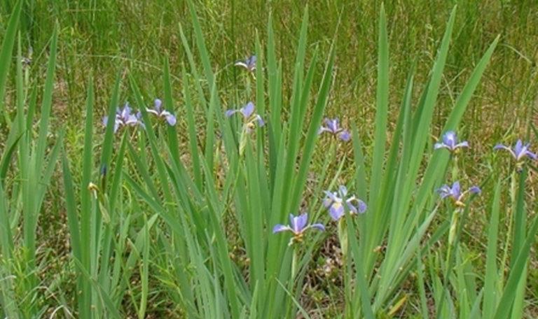Southern Blue Flag Iris virginica