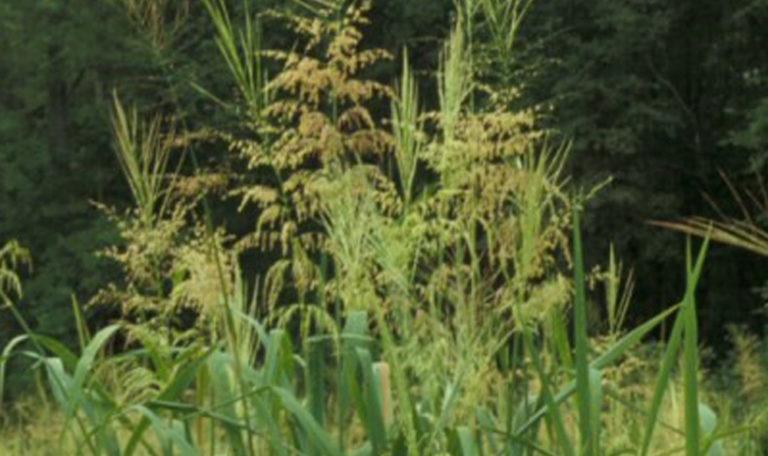 Southern Wild Rice… Zizania aquatica