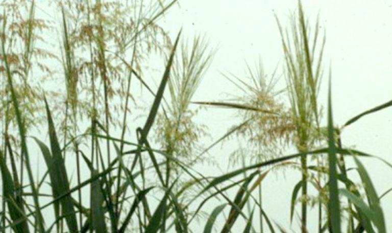 Southern Wild Rice Zizania aquatica
