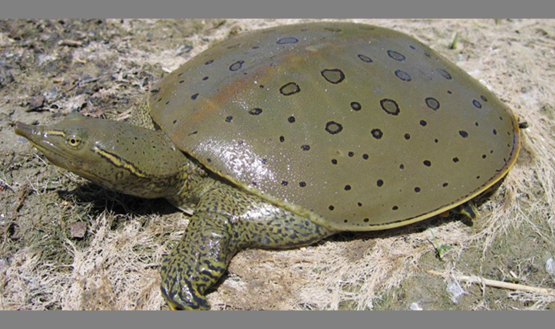 Spiny Softshell Turtle… Apalone spinifera spinifera