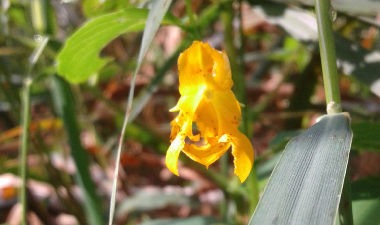 Spotted Touch-Me-Not/Jewelweed… Impatiens capensis