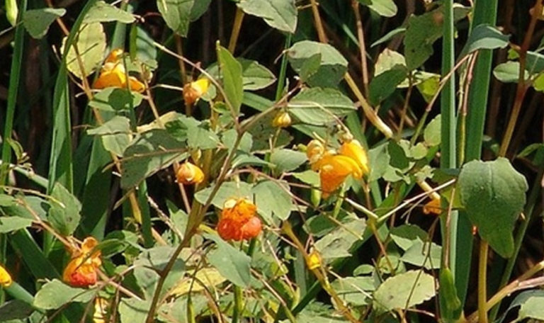 Spotted Touch-Me-Not/Jewelweed Impatiens capensis