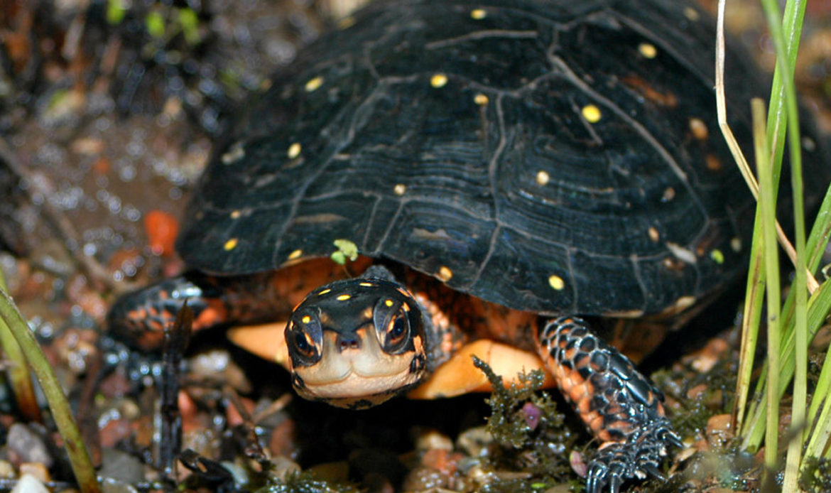 Spotted Turtle Clemmys guttata