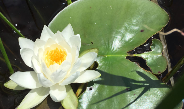 Sweet Scented Waterlily Nymphaea odorata