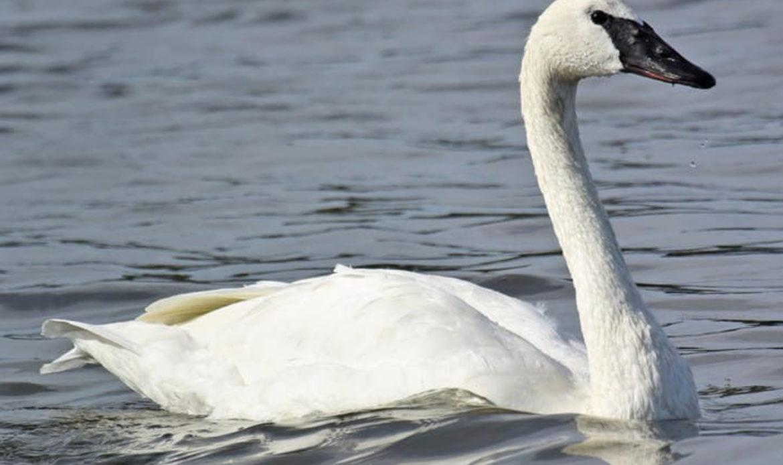 Trumpter Swan… Cygnus buccinator