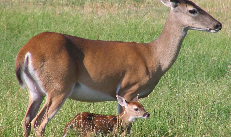 White-Tailed Deer… Odocoileus virginianus