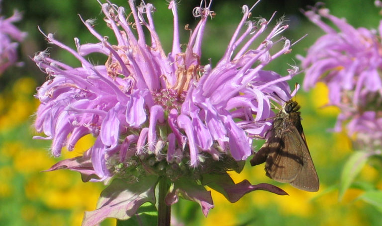 Wild Bergamot/Bee Balm… Monarda fistulosa